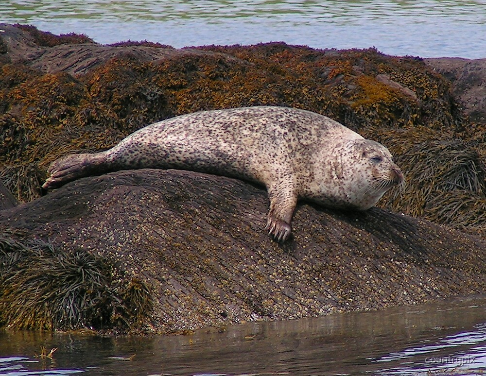 Common Seal by countrypix