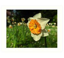 Sunshine - Daffodil  Art Print