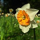 Sunshine - Daffodil  by NicoleBPhotos