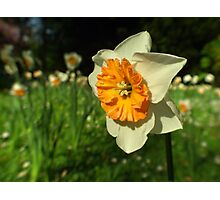 Sunshine - Daffodil  Photographic Print