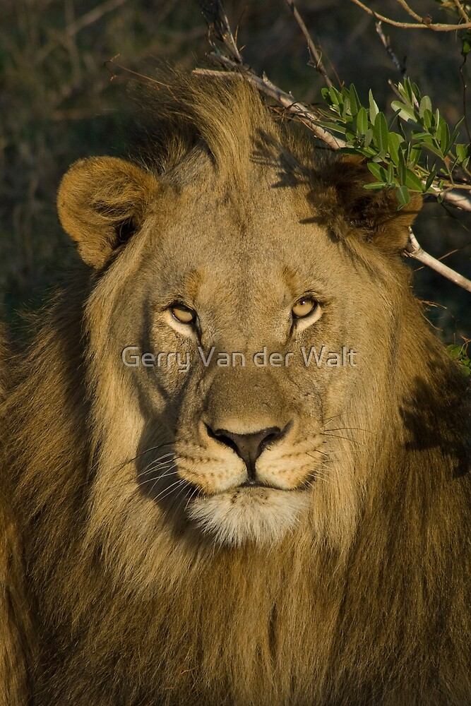 Male Lion by Gerry Van der Walt