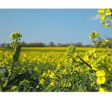Yellow field (close) Photographic Print