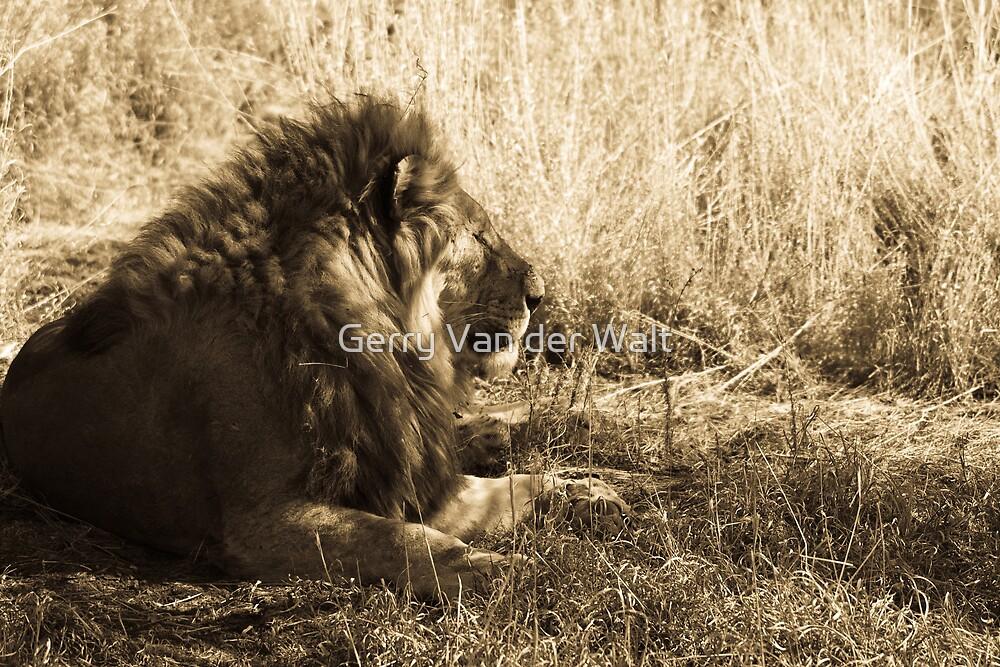 Male Lion Scene - Sepia by Gerry Van der Walt