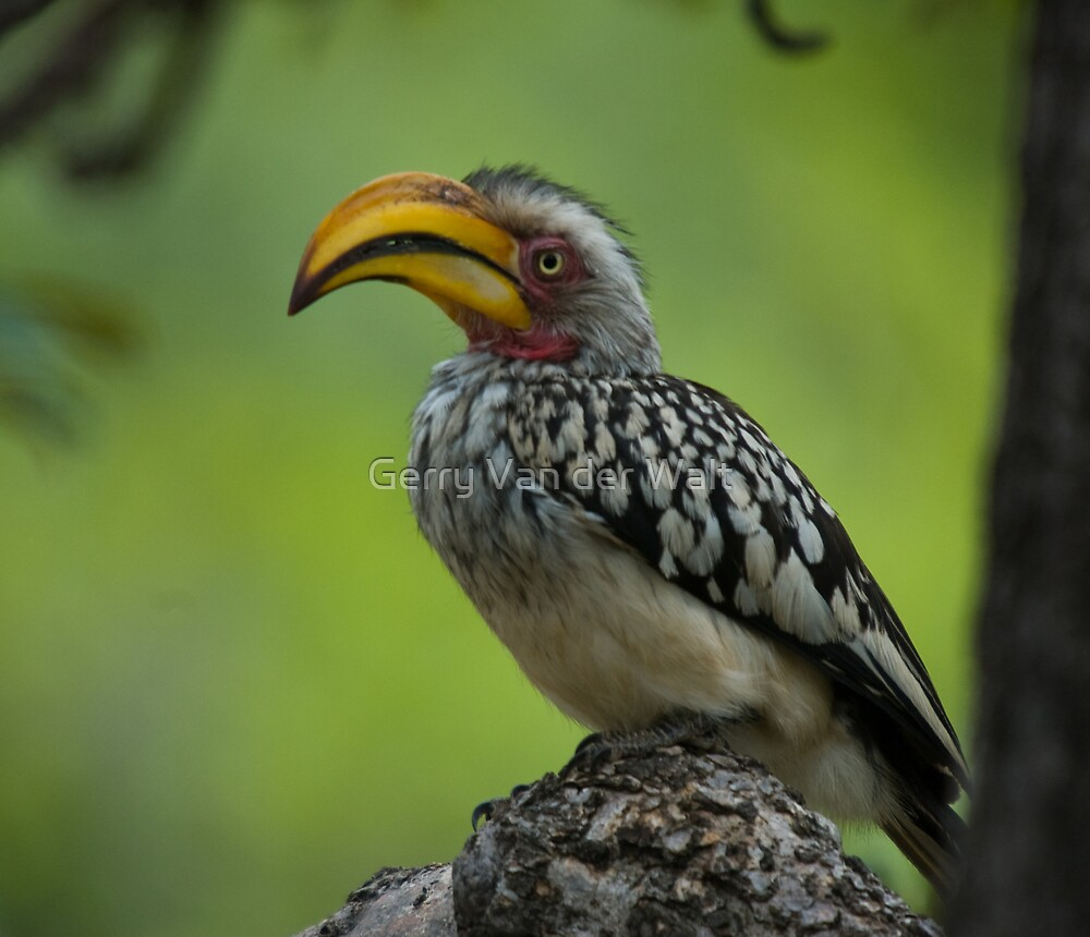 Yellow Billed Hornbill by Gerry Van der Walt