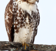 Red-tailed Hawk - Perched Sticker