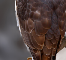Cooper's Hawk profile Sticker