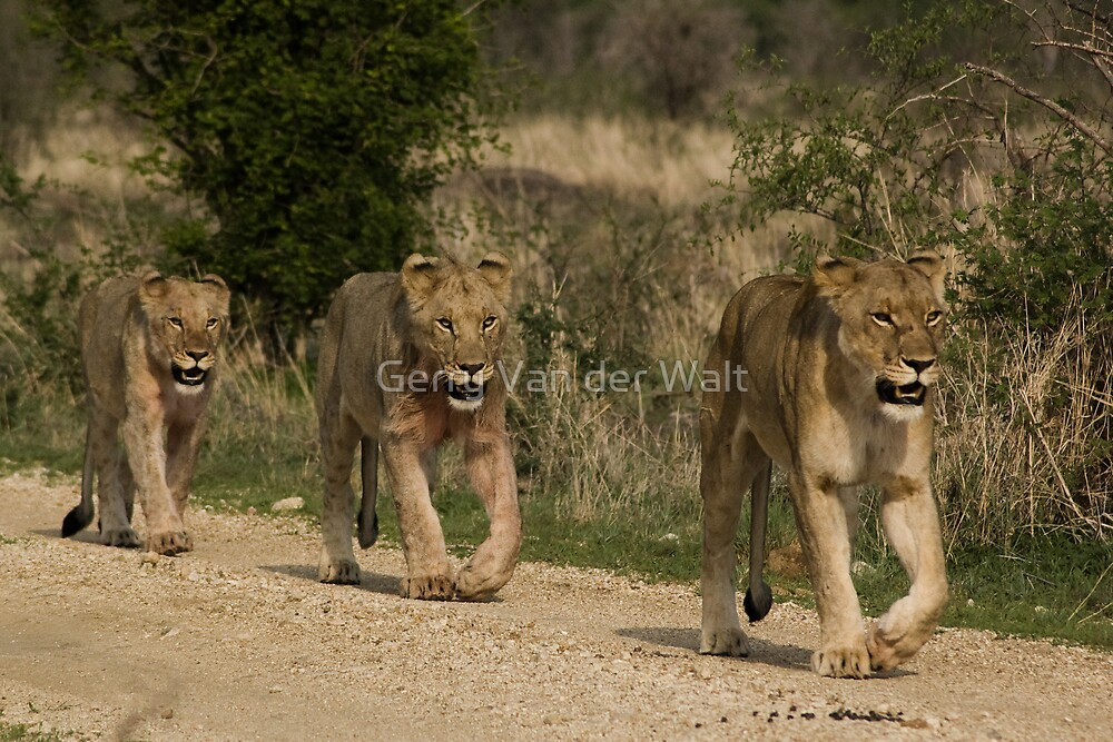 3 in a Row - Female and Cubs by Gerry Van der Walt