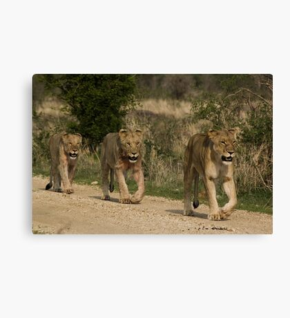 3 in a Row - Female and Cubs Canvas Print