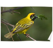 Southern Masked Weaver Building Poster