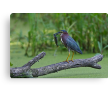 Green Heron wins local fishing contest! Canvas Print