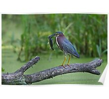 Green Heron wins local fishing contest! Poster
