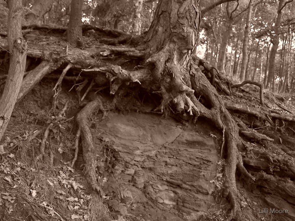 old tree's by Lilli Moore