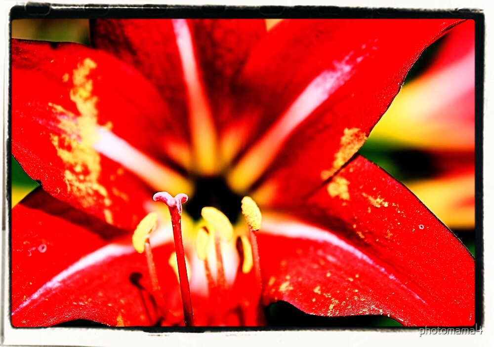 Red Lily by photomama4