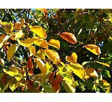 Sunlit Leaves of Russet and Green Photographic Print