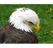 The American Bald Eagle Photographic Print