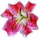 Stargazer Lily Closeup by Susan Savad