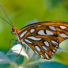 Agraulis Vanillae,Gulf Fritillary Butterfly by Eyal Nahmias