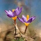 Violet crocuses by JBlaminsky