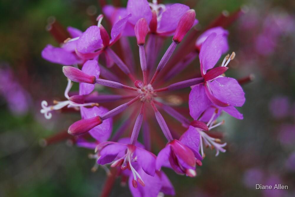 Fireweed by Diane Allen