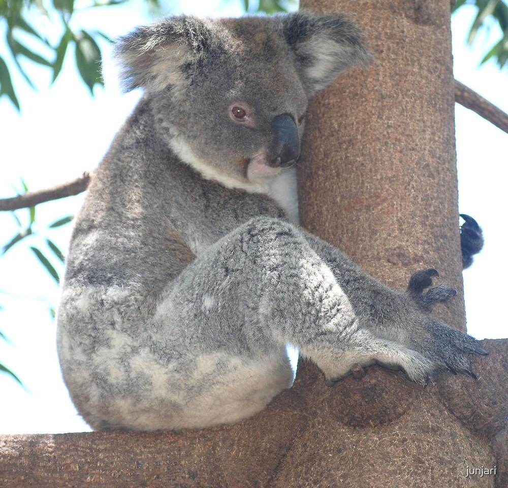 Koala by junjari
