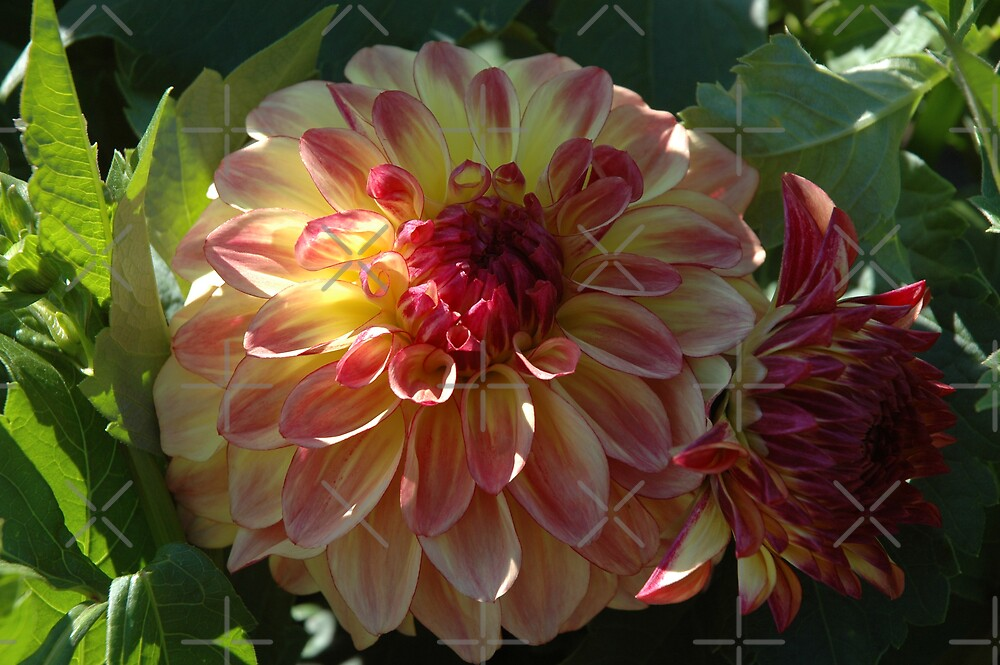 Dahlia lll by christiane