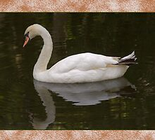 Mute Swan Reflections Greeting Card by Delores Knowles