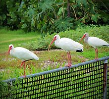 Three White Ibis by Cynthia48