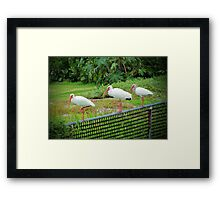 Three White Ibis Framed Print
