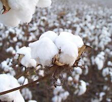 Bowl of Bama cotton by PAULA FERGUSON