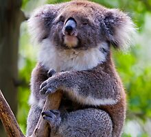 Treetop Koala by DawsonImages