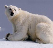 Polar Bear by Steve Bulford