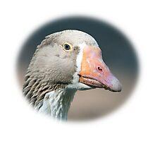 Domestic Goose / Pommersche Gans Photographic Print