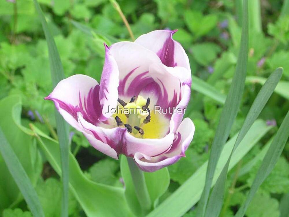 Purple Flower by Johanna  Rutter