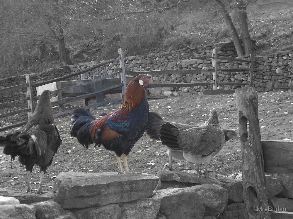 Rooster awakenings by MrsBuden