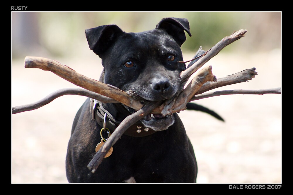 Rusty Loves Sticks by dale rogers