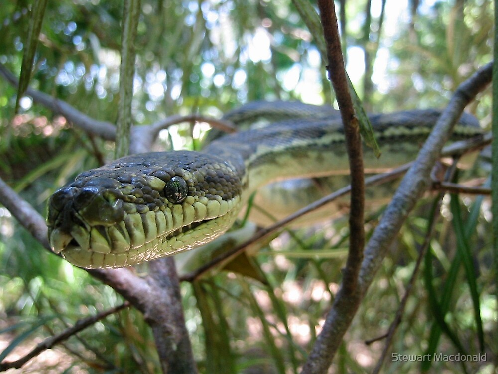 Carpet snake head in tree by Stewart Macdonald