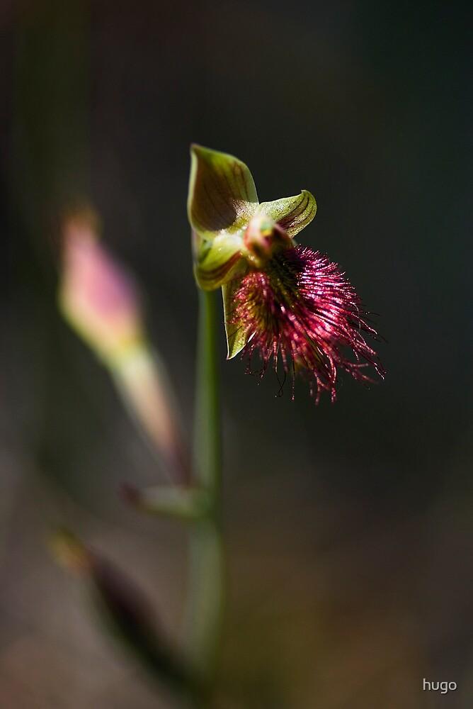 AUSTRALIAN BEARDED ORCHID by hugo