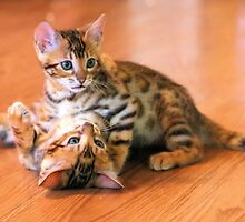 Bengal Kittens at Play by Jane Girardot