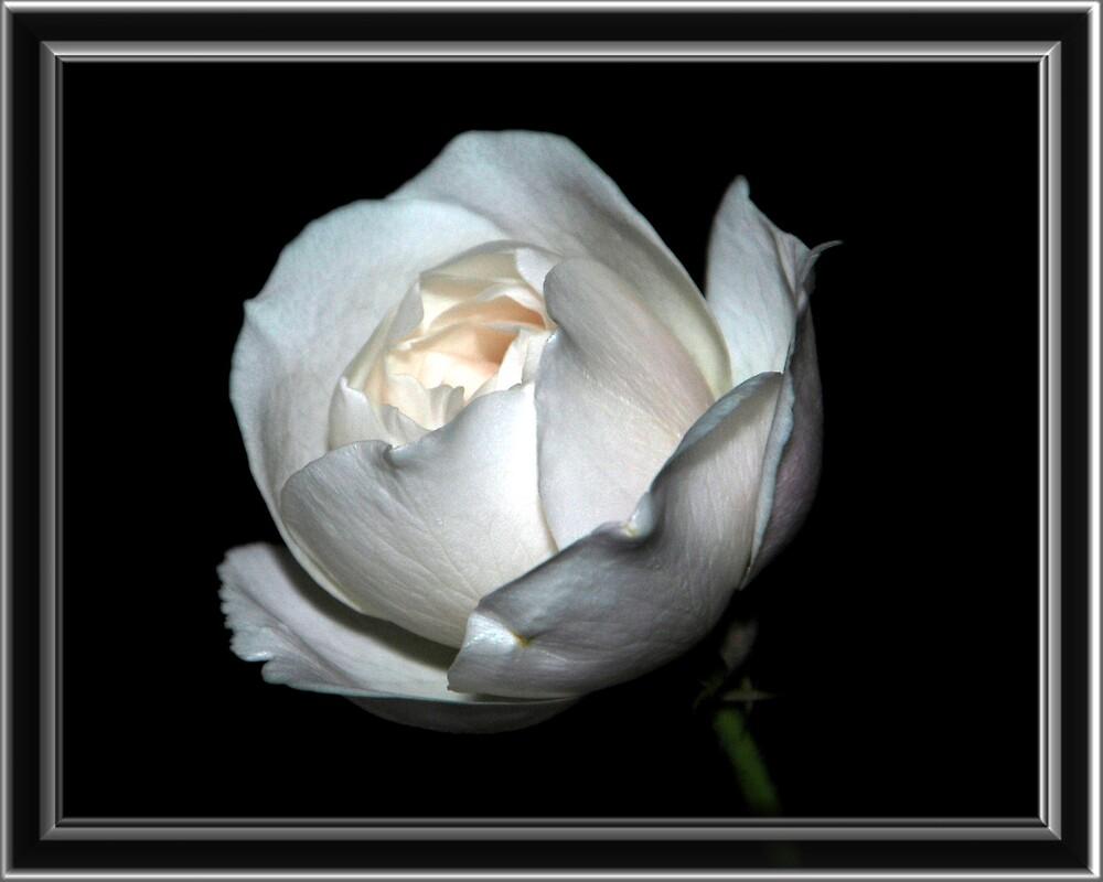 White Beauty by dumbomsa