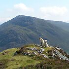 mountainlabradors by countrypix