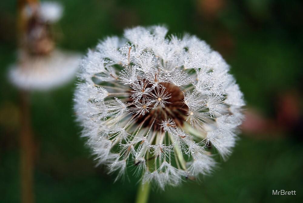 Dandybrella's by Brett Sadhwani