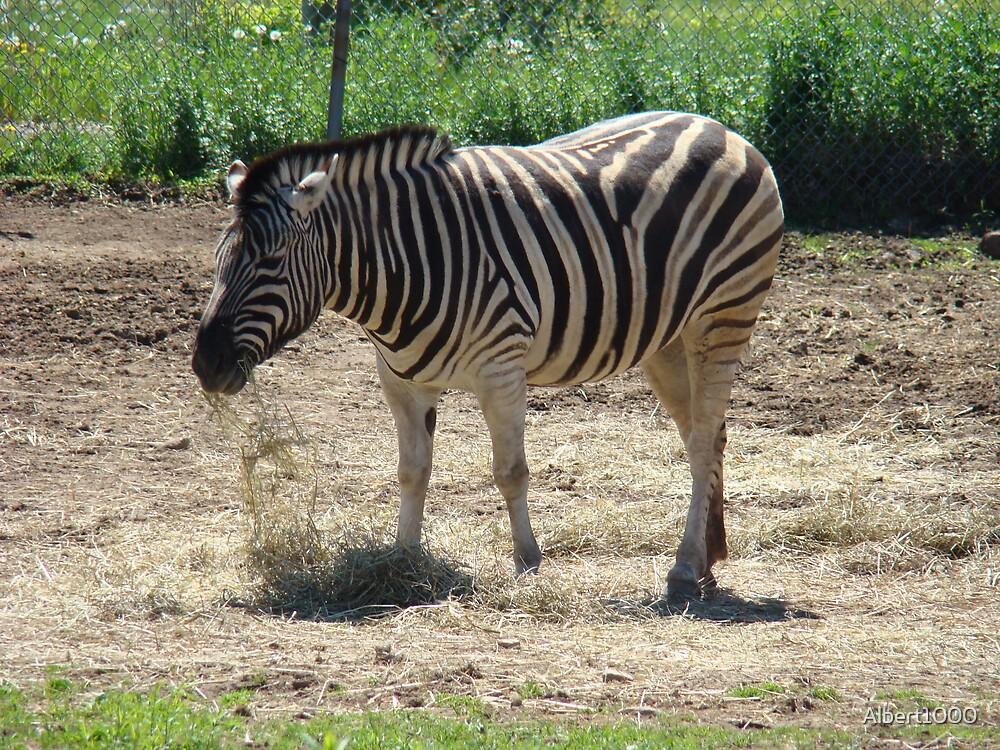 Zebra by Albert1000
