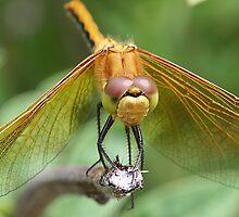 Dragonfly by Teresa Zieba