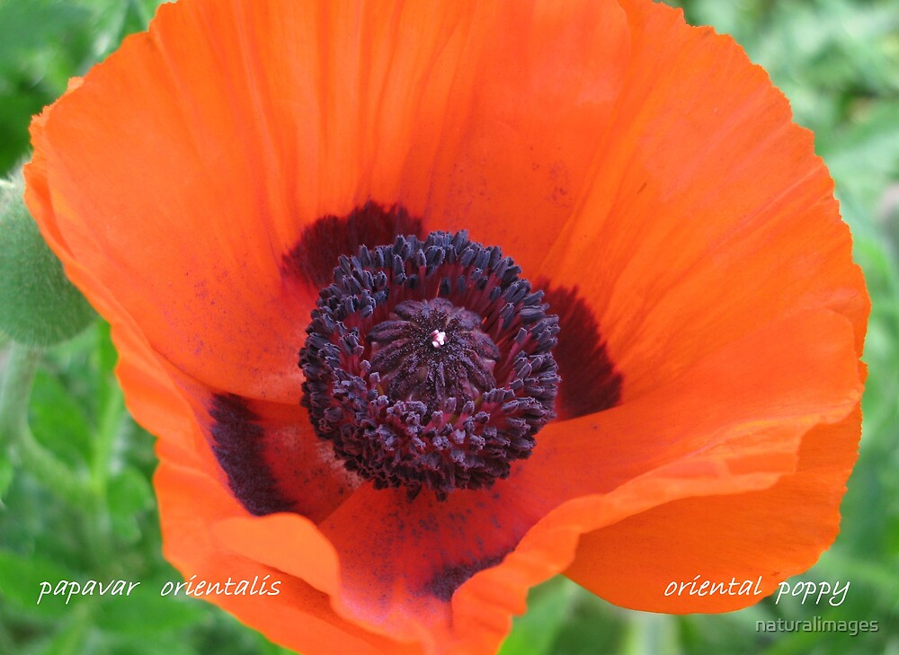 oriental poppy by naturalimages