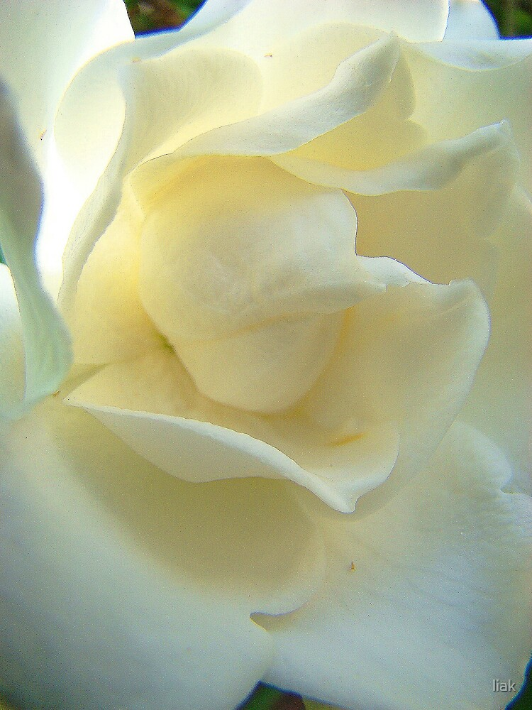 white petals by liak