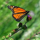 Monarch Butterfly by Curtiss Simpson