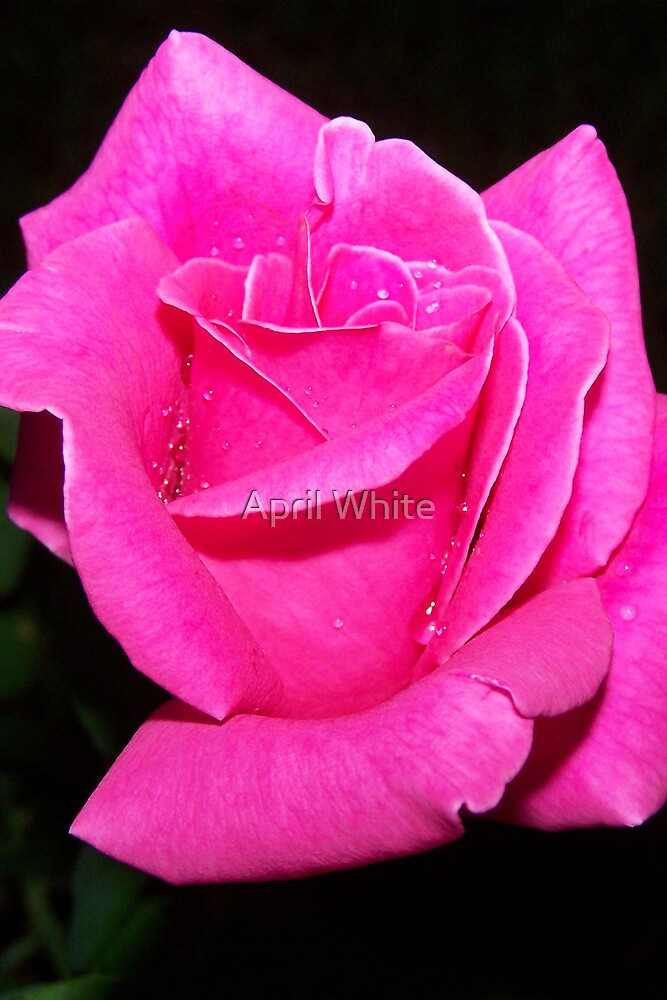 Pink Rose by xPressiveImages