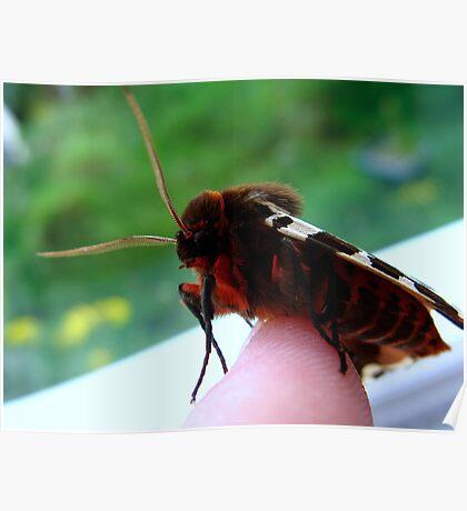 Garden Tiger Moth - 1 Poster
