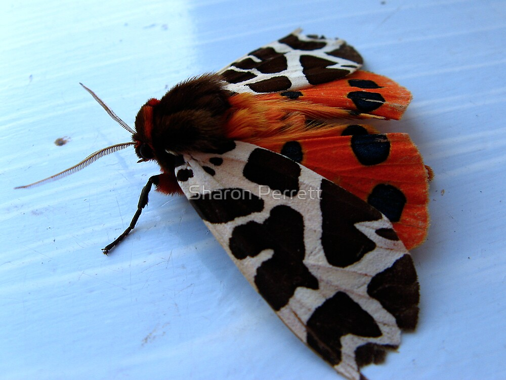 Garden Tiger Moth - 2 by Sharon Perrett
