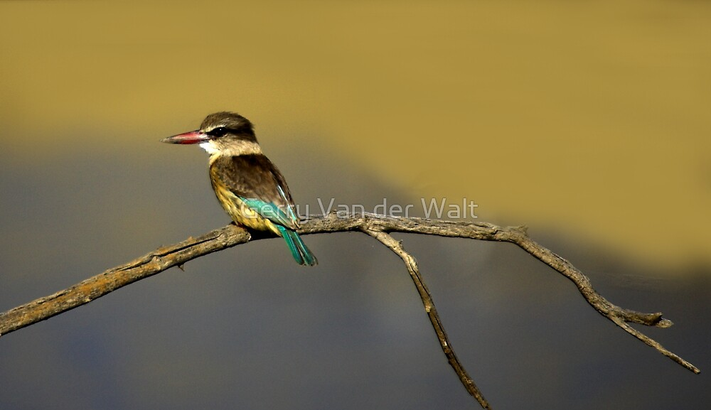 Brown Hooded King Fisher by Gerry Van der Walt